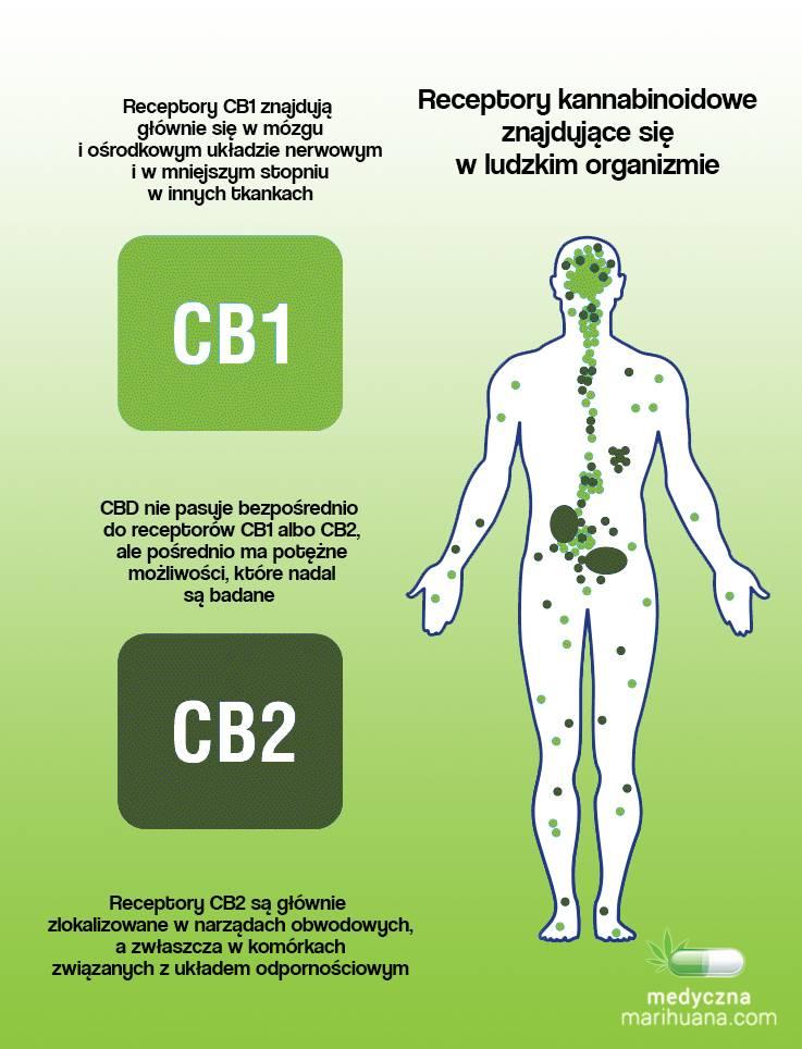 receptory-kannabinoidowe-compressed-1