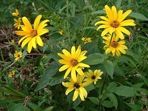 Słoneczniczek szorstki (Heliopsis helianthoides)