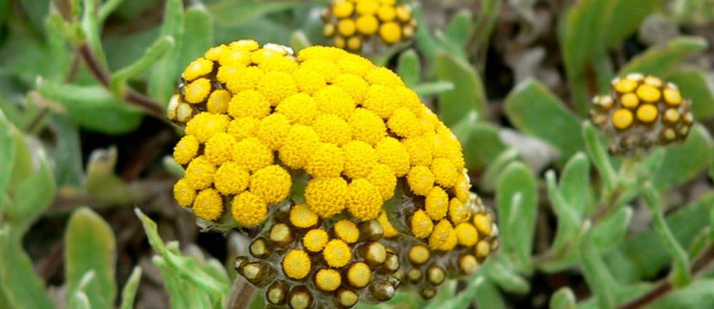 Helichrysum umbraculigerum 1280