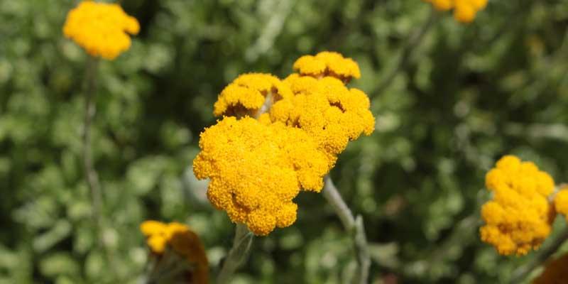 Helichrysum_umbraculigerum